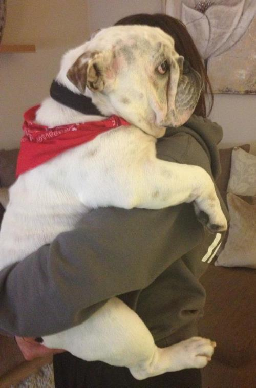 Bulldog Being Carried