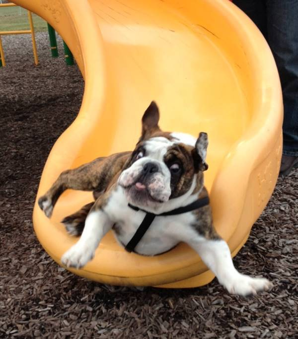 Bulldog Going Down A Slide
