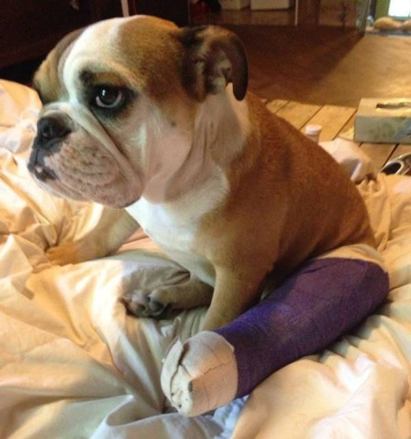 Bulldog In A Cast