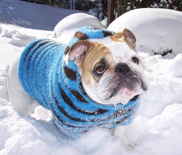 Bulldog In The Snow