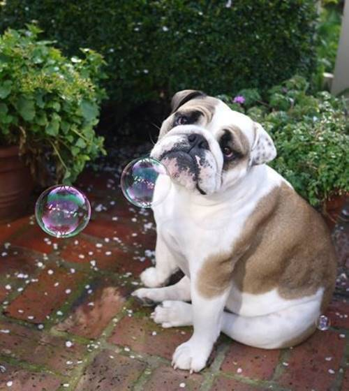 Bulldog Looking Sad