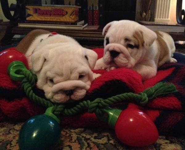 Bulldog Pictures Christmas