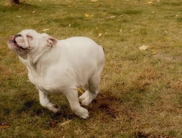Bulldog Pictures Running