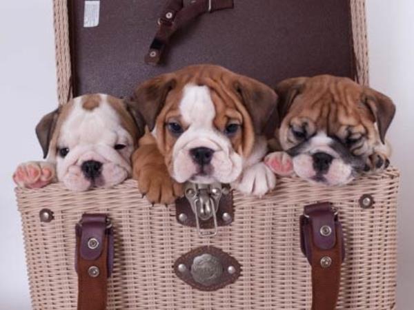 Bulldog Puppies In A Purse