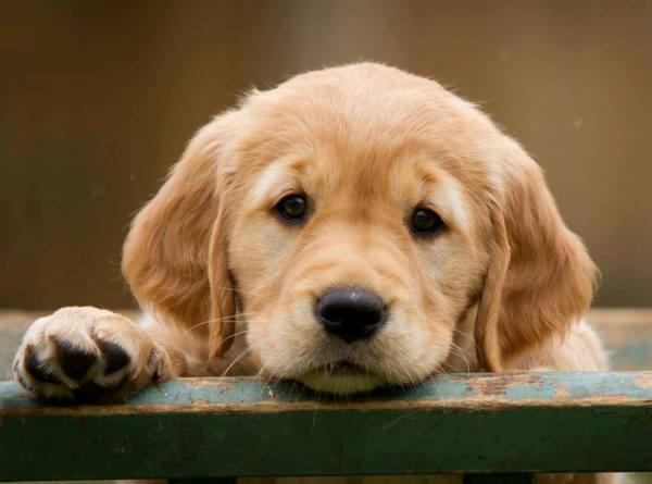 Cute Retriever Puppy