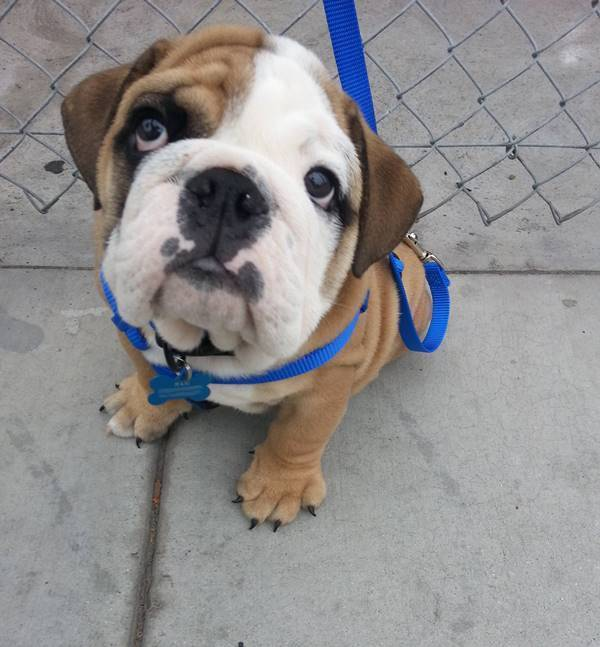 Cutest Bulldog