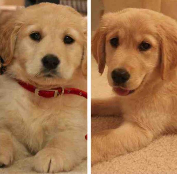 Cutest Golden Retriever Pictures Puppy