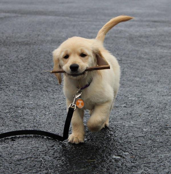 Cutest Golden Retriever Pictures Stick