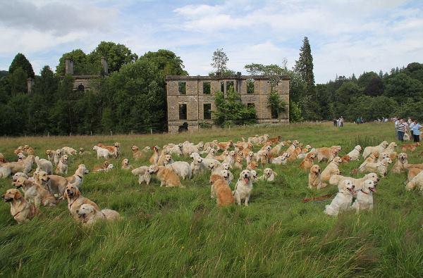 Flock Of Golden Retrievers