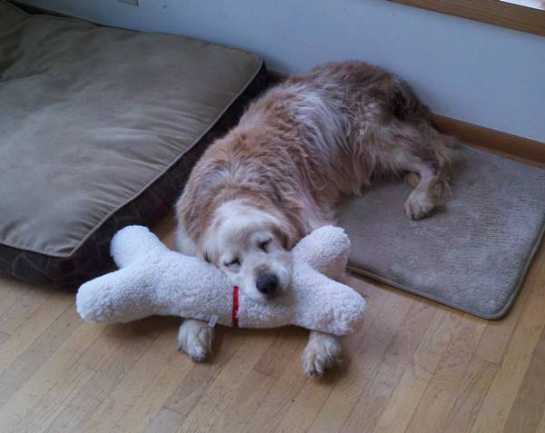 Golden Retriever Asleep On Toy