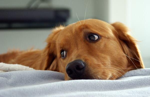 Golden Retriever Begging