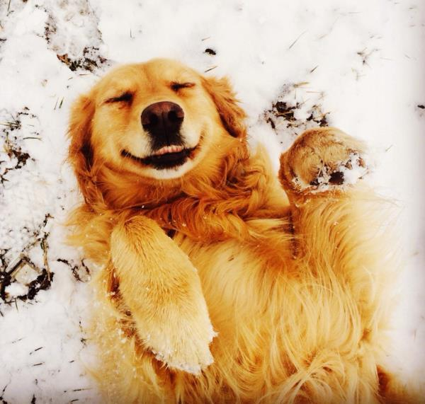 Golden Retriever Happy In The Snow