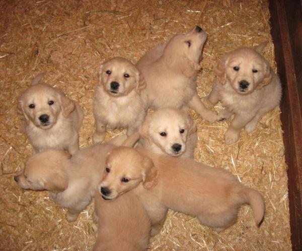 Golden Retriever Pictures Of Puppies