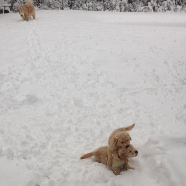 Golden Retriever Pictures In The Snow