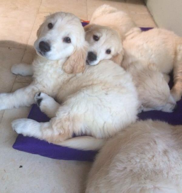 Golden Retriever Puppies Together