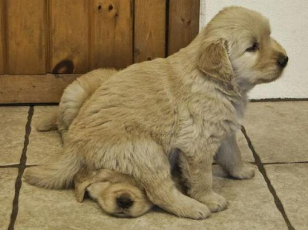 Golden Retriever Puppy Sitting On Other Puppy