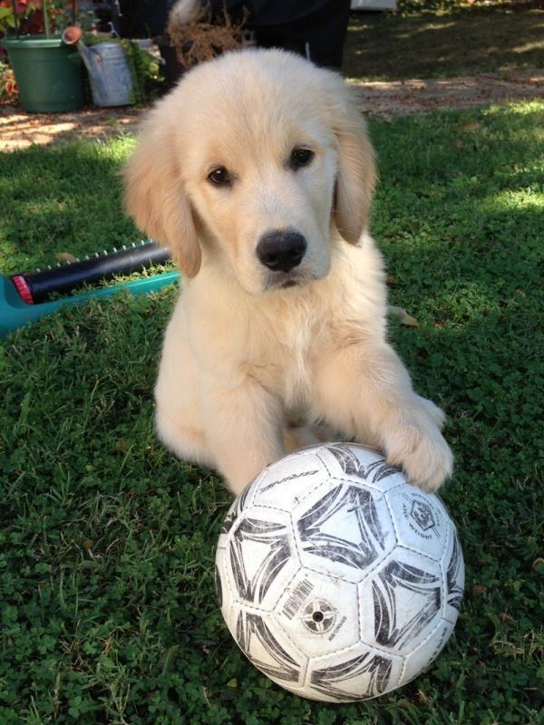 Golden Retriever Puppy With Soccer Ball