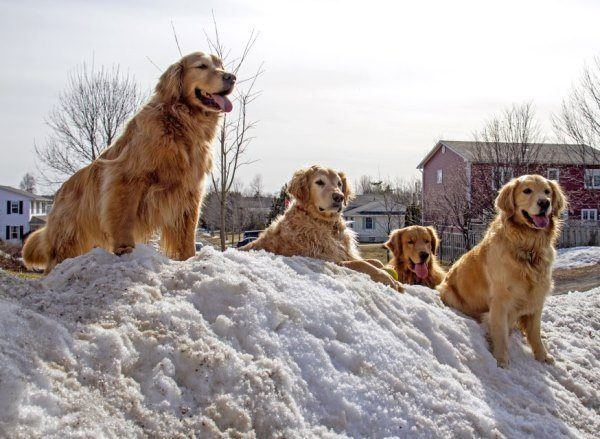 Golden Retrievers In The Snow