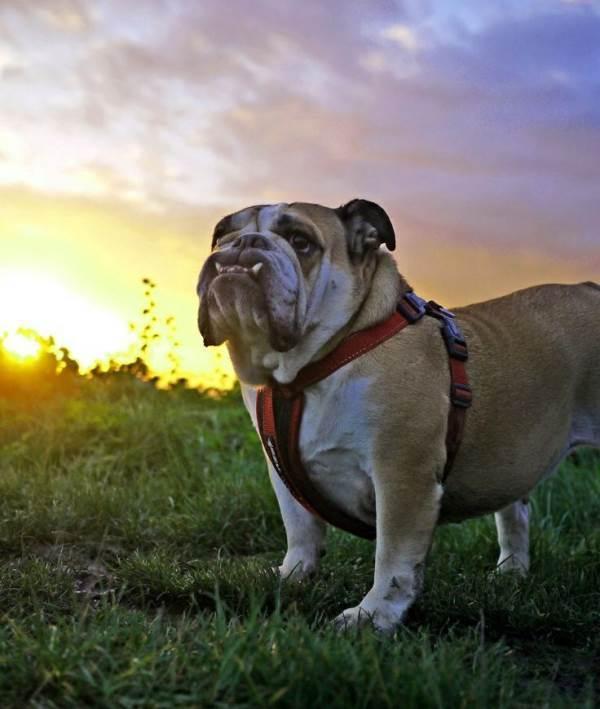 Majestic Bulldog