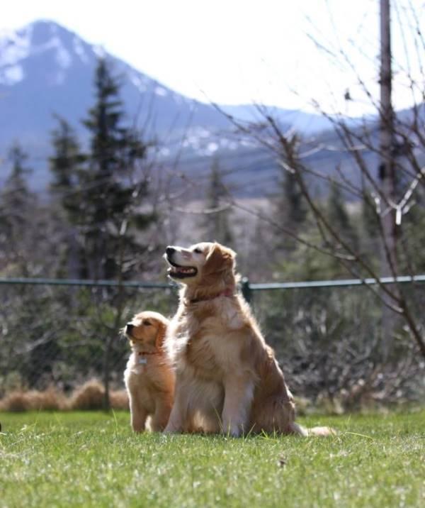 Majestic Golden Retrievers