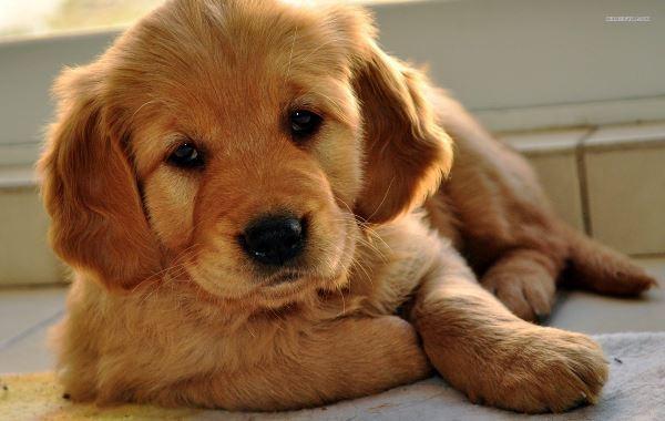 Sitting Retriever Puppy