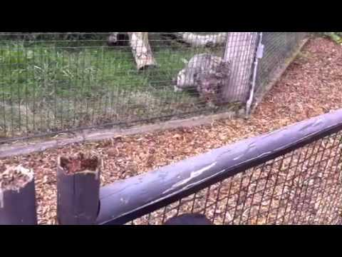 Snow Leopard Gets A Mid Day Snack