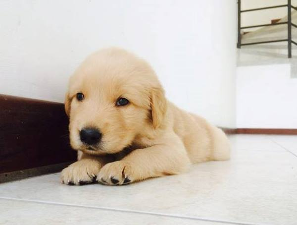 Tiny Golden Retriever