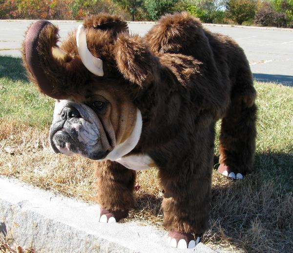 Wooly Bulldog