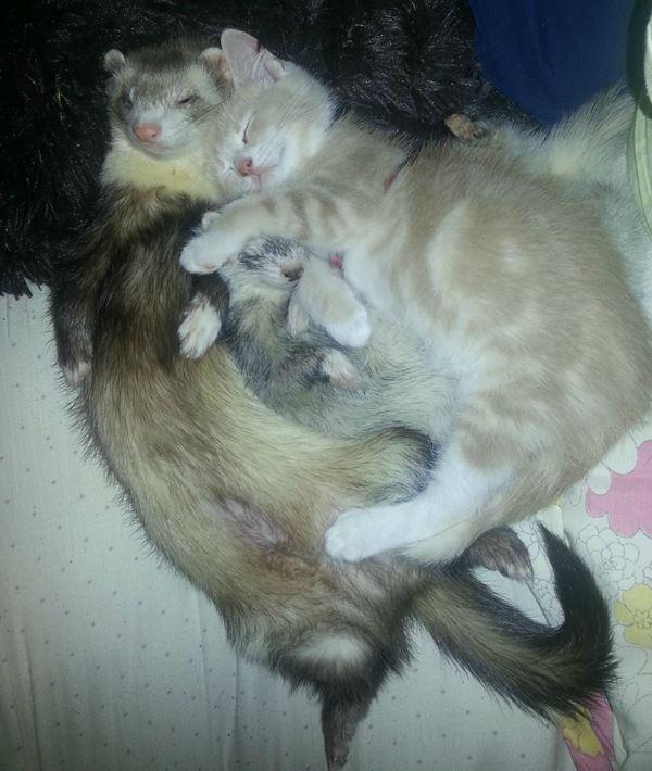 Adopted Kitten Ferrets Hugging