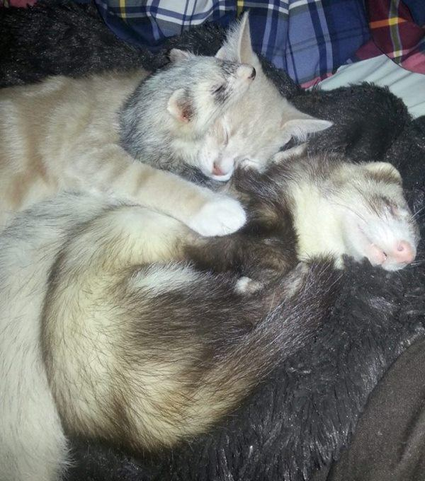 Adorable Ferret Family Adopts Kitten