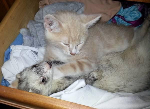 Aww Kitten & Ferret