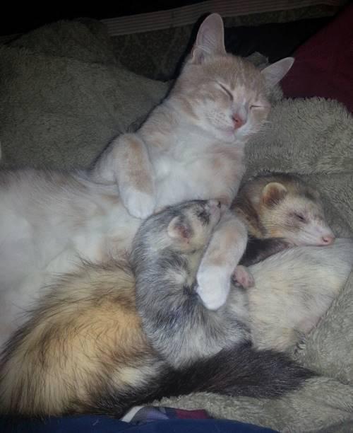 Cat And Ferret Hugging
