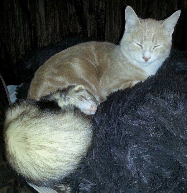 Cute Ferret And Cat