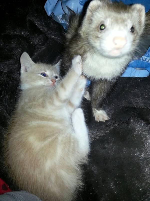 Cute Ferret Kitten Picture