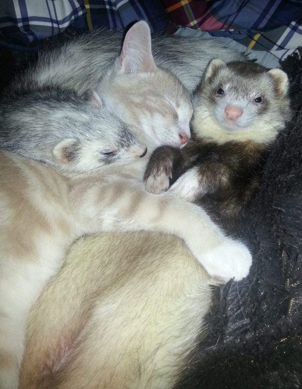 Cute Kitten And Ferret