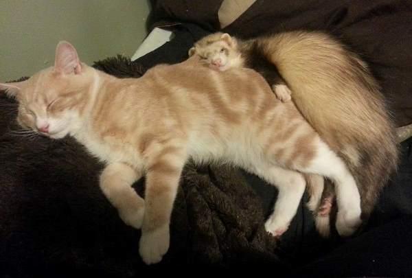 Ferret And Kitten