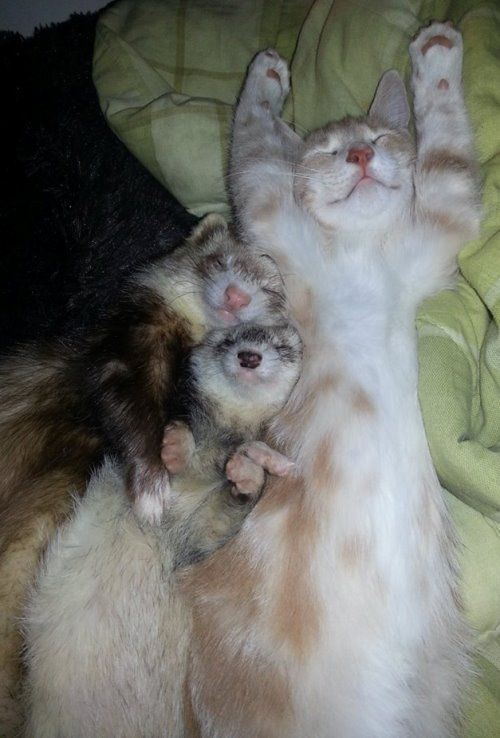 Ferret Family Adopts A Kitten