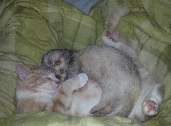 Ferret Adopts A Kitten
