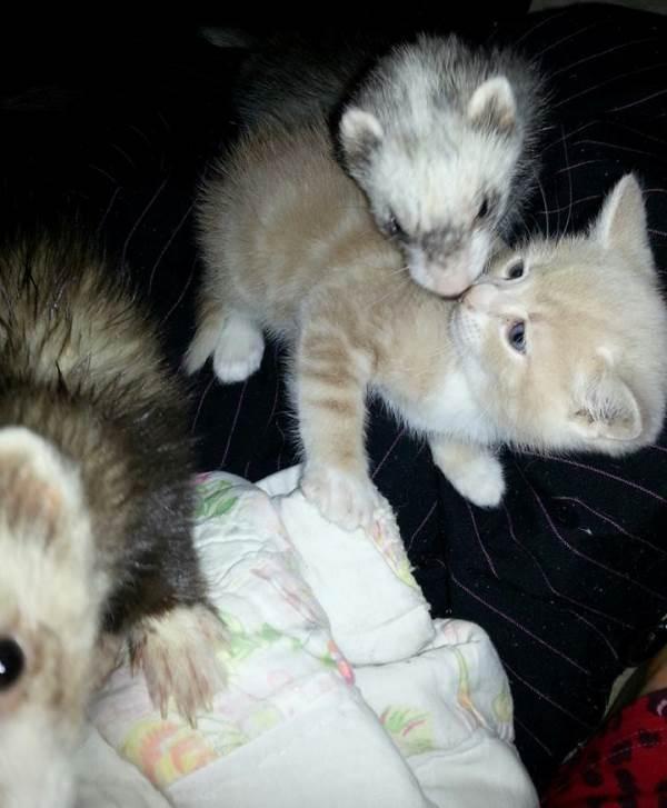 Ferrets And Cat