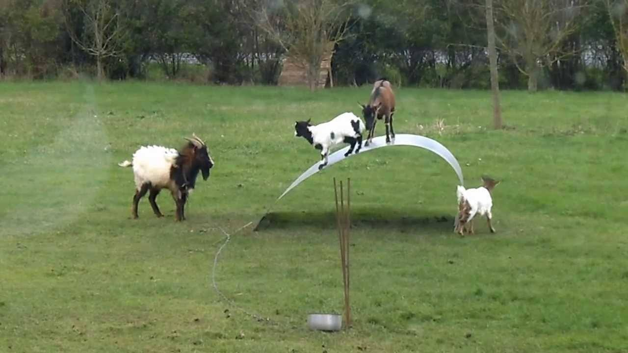 Goats Try To Balance On A Flexible Ribbon