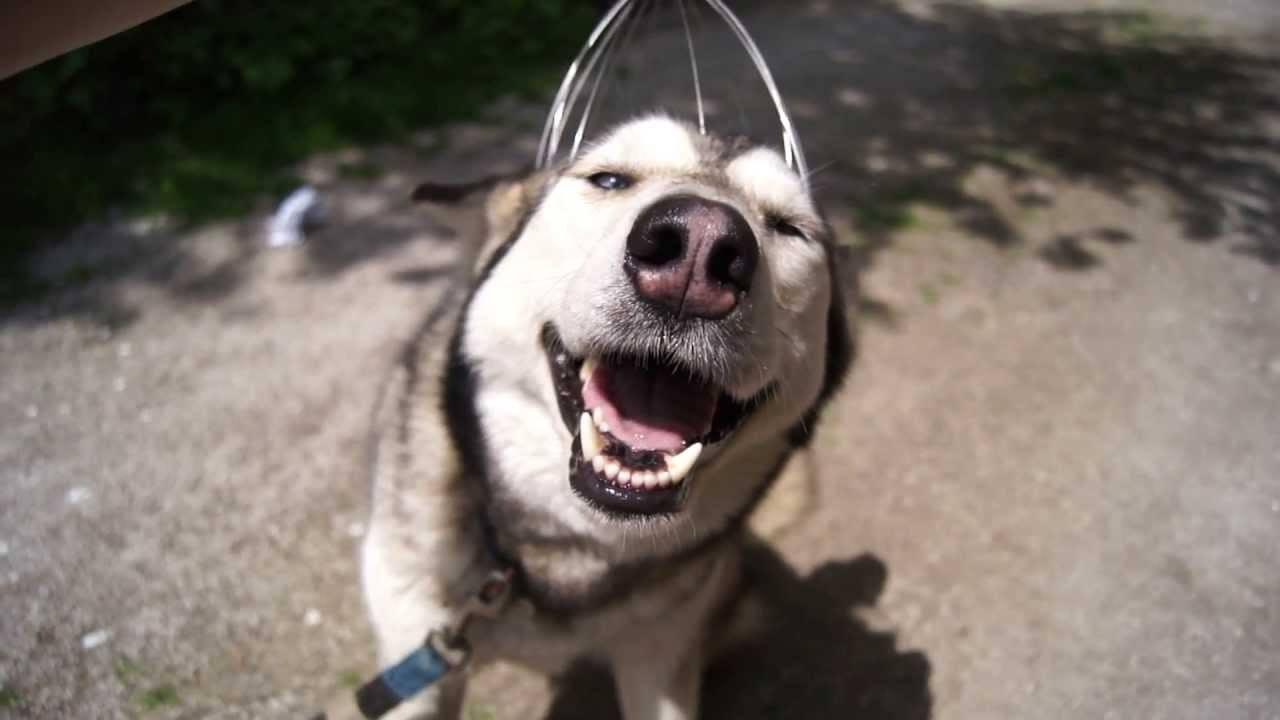 Husky Loves Head Massager