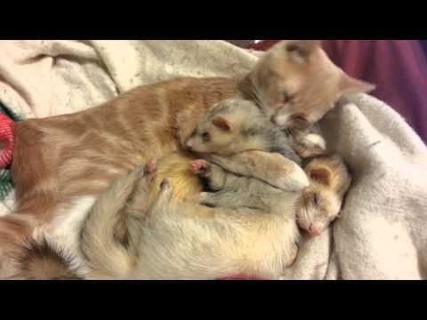 Video thumbnail for youtube video Meet The Ferret Family That Adopted A Kitten – PBH2