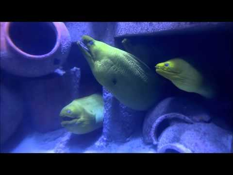 Singing Eels