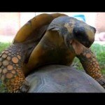 Watch Two Tortoises Mate