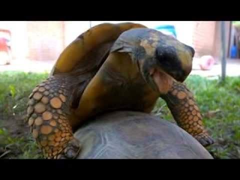 Watch Two Tortoises Mate
