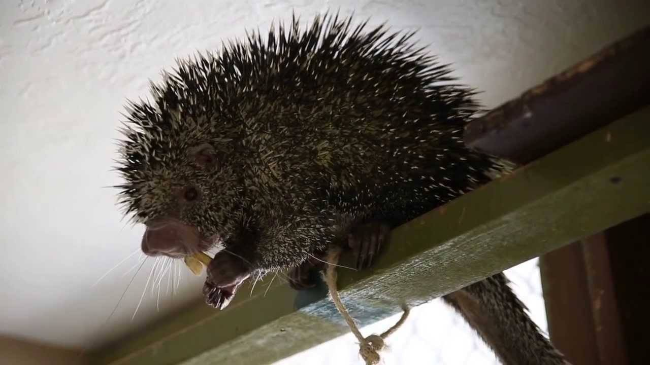 A Porcupine In A Tree House