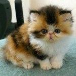 Baby Exotic Shorthair