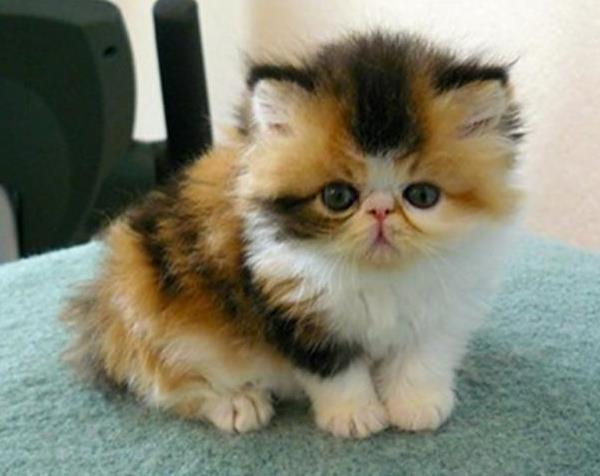 Short Hair Persian Cat For Sale