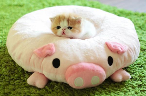 Cute Baby Exotic Shorthair Cat