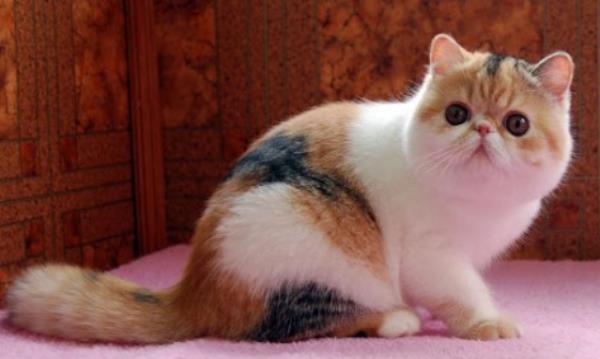 Cute Exotic Shorthair Cat